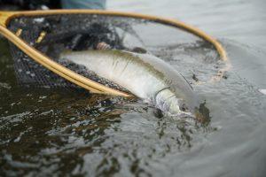 Dolly Varder, Opala river Kamchatka, Russia, bkk hook